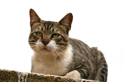 Cat. A cat portrait with alert expression in the face staring outdoors Stock Photography
