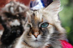 A cat. With deep blue eyes Stock Image