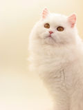 Cat. Persian white cat looks upwards Stock Photography