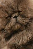 Cat. Portrait of the sleeping cat Stock Photos