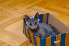 Cat. Grey cat in box stock images
