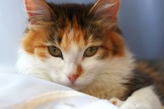 Cat. A tortoiseshell cat looking at you. At home Royalty Free Stock Photo