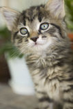 Cat. Small litlle kitty cat starring at something Royalty Free Stock Image