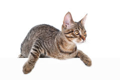 Cat above white banner Royalty Free Stock Photos