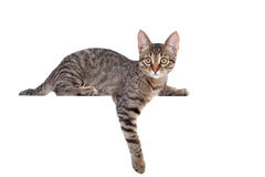 Cat above white banner Royalty Free Stock Images
