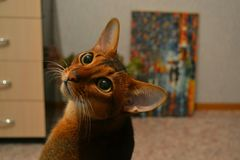 Cat. Abyssinian, cute Stock Image