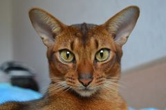 Cat. Abyssinian, full face Royalty Free Stock Images