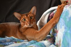 Cat. Abyssinian, long-armed Stock Photography