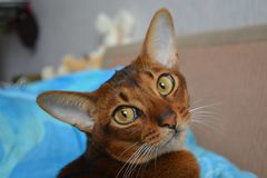 Cat. Abyssinian, looks Stock Images
