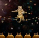 Cat acrobat 3. The cat acrobat goes on a tightrope in the circus royalty free stock photo