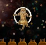 Cat acrobat 4. The cat acrobat sits inside a suspended ring in the circus stock photo