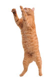 Cat in Action Stock Photography