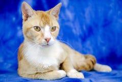 Cat Adoption Photo alaranjada imagem de stock royalty free