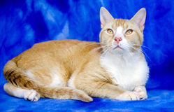 Cat Adoption Photo alaranjada fotografia de stock royalty free