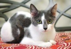 Cat Adoption Photo cinzenta e branca imagens de stock royalty free