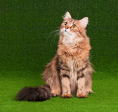 Cat adult Stock Images