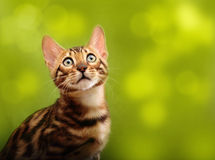 Cat against blurred green background. Royalty Free Stock Image