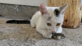 Cat against the lizard. Cat played with the lizard, then she released Stock Photography