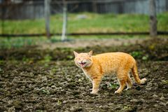Cat Against Outdoor Countryside roja adulta Meowing Imágenes de archivo libres de regalías