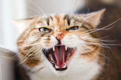 The cat aggression. Aggressive domestic cat sitting on a window sill royalty free stock photography