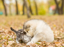 Cat and alaskan malamute puppy dog together in autumn park royalty free stock images