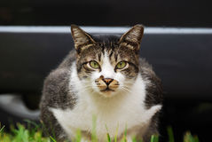 Cat On Alert Royalty Free Stock Photography