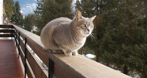 Cat on alert on the balcony. Grey cat on alert on the balcony Stock Images