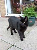 Annoyed Black Cat On The Alert Stock Photo