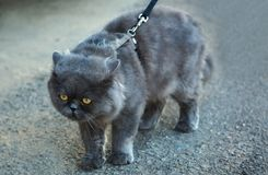 Cat. Alertness cat walking outdoors on a leash Stock Photography