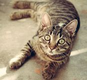 Cat. Amazing cat with beautiful eyes Royalty Free Stock Photo