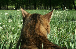 Cat in an ambush. The striped cat hunts. A sunny day lies in a grass looks in a distance Stock Image