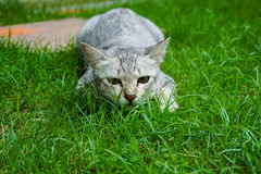 The cat ambush prey on grass. Cat ambush prey on grass Royalty Free Stock Images