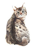 Cat american shorthair bobtail watercolor painting isolated on white background Royalty Free Stock Photography
