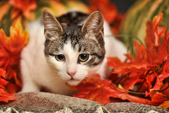 Cat amongst autumn leaves Royalty Free Stock Photo