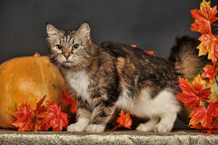 Cat amongst autumn leaves Stock Photography