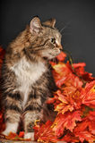 Cat amongst autumn leaves Royalty Free Stock Images