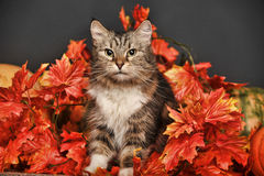 Cat amongst autumn leaves Stock Photos