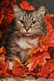 Cat amongst autumn leaves Stock Image