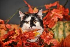 Cat amongst autumn leaves. Beautiful cat amongst autumn leaves Stock Photography