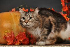 Cat amongst autumn leaves Royalty Free Stock Image