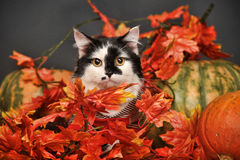 Cat amongst autumn leaves Royalty Free Stock Photography