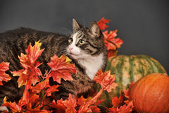 Cat amongst autumn leaves Stock Photo