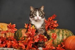 Cat amongst autumn leaves Stock Images