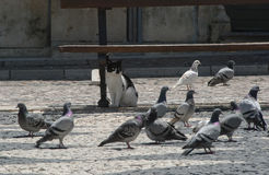 A cat amongst the pigeons Stock Image