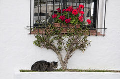 Cat amongst the Roses in Puerto Banus Spain Royalty Free Stock Images