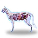Cat Anatomy - anatomia interna de um gato ilustração do vetor