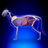 Cat Anatomy - inre anatomi av en katt royaltyfria bilder