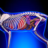 Cat Anatomy - Internal Anatomy of a Cat Stock Photography