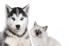 Free Cat And Dog Together  On White, Neva Masquerade, Siberian Husky Looks Straight Royalty Free Stock Image - 89777176