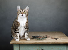 Free Cat And Herring Royalty Free Stock Photography - 30117507